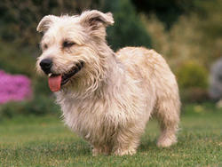 Chien de race Irish Glen of Imaal Terrier