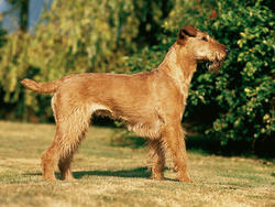 Chien de race Irish Terrier