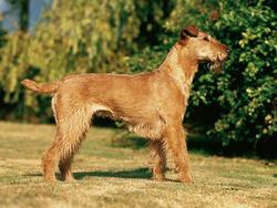 Chien de race Irish Terrier