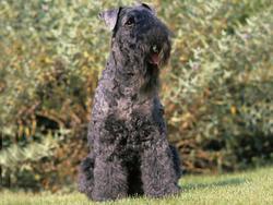 Chien de race Kerry Blue Terrier