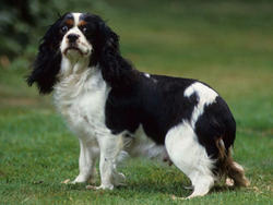 Chien de race King Charles Spaniel