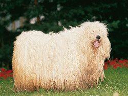 Photo de Komondor