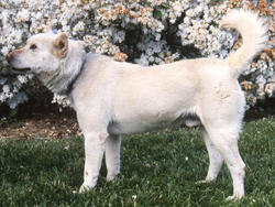 Photo de Korea Jindo dog