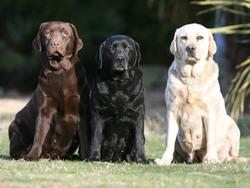 Photo de Labrador
