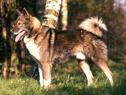 Chien de race Laika de Sibérie occidentale
