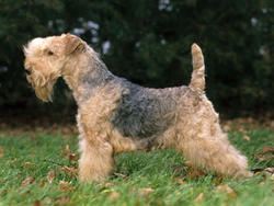 Chien de race Lakeland Terrier