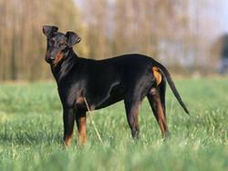 Chien de race Manchester Terrier