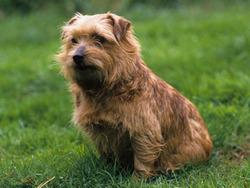Photo de Norfolk Terrier et Norwich Terrier