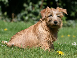 Chien de race Norfolk Terrier et Norwich Terrier