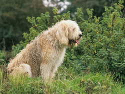 Photo de Otterhound