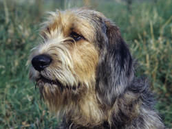 Chien de race Otterhound