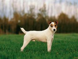 Parson russell terrier chien et chiot terrier du r v rend jack russell wamiz - Jack russel queue coupee ...