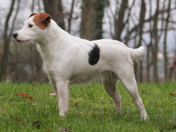 Photo de Parson Jack Russell Terrier