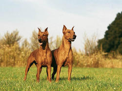 Photo de Pinscher