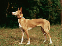 Photo de Podenco ibicenco