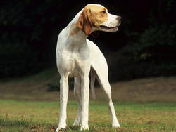Chien de race Pointer anglais