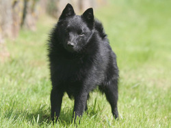 Photo de Schipperkee