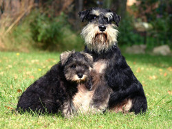 Photo de Schnauzer