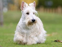 Scottish Terrier Caractere Prix Alimentation Sante Fiche Race Chien
