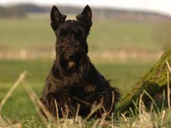 Chien de race Scottish Terrier