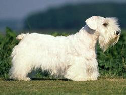 Photo de Sealyham Terrier