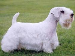 Chien de race Sealyham Terrier