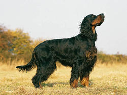 Chien de race Setter Gordon