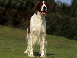 Photo de Setter irlandais rouge et blanc