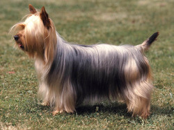 Photo de Silky Terrier
