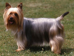 Chien de race Silky Terrier