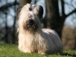 Chien de race Skye Terrier
