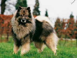 spitz allemand chien et chiot german spitz spitz loup keeshond pomeranian loulou de