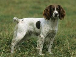 Springer anglais chien et chiot english springer for Caracteristique anglais