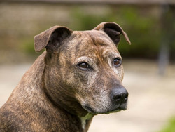 Photo de Staffordshire Bull Terrier