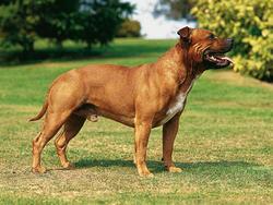 Chien de race Staffordshire Bull Terrier