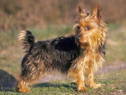 Chien de race Terrier australien