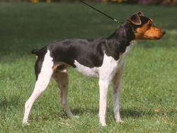 Chien de race Terrier brésilien