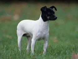 Chien de race Terrier japonais