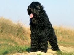 Chien de race Terrier noir russe