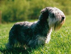 Chien de race Terrier tchèque