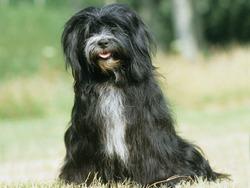 Photo de Terrier tibétain