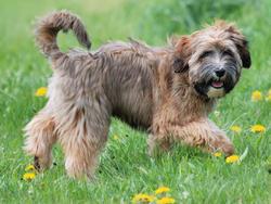 Chien de race Terrier tibétain