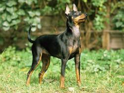 Chien de race Toy Terrier anglais noir et feu
