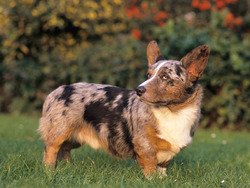 Photo de Welsh Corgi