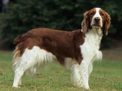 club de race springer spaniel