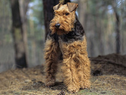 Photo de Welsh Terrier