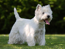 Chien de race West Highland White Terrier
