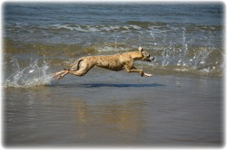 Elevage Whippet