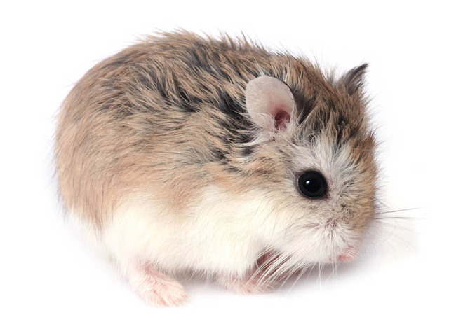 Animaux le hamster - Hamster russe panda ...