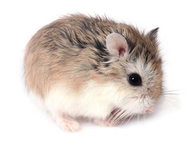 Photos de rongeurs hamster lapin cochon d 39 inde souris furet wamiz - Hamster gratuit ...